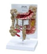 Colon Model